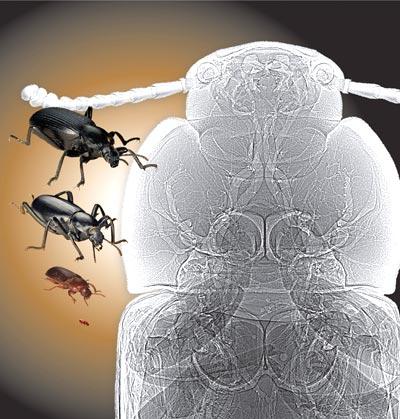 Wie groß können Käfer werden?