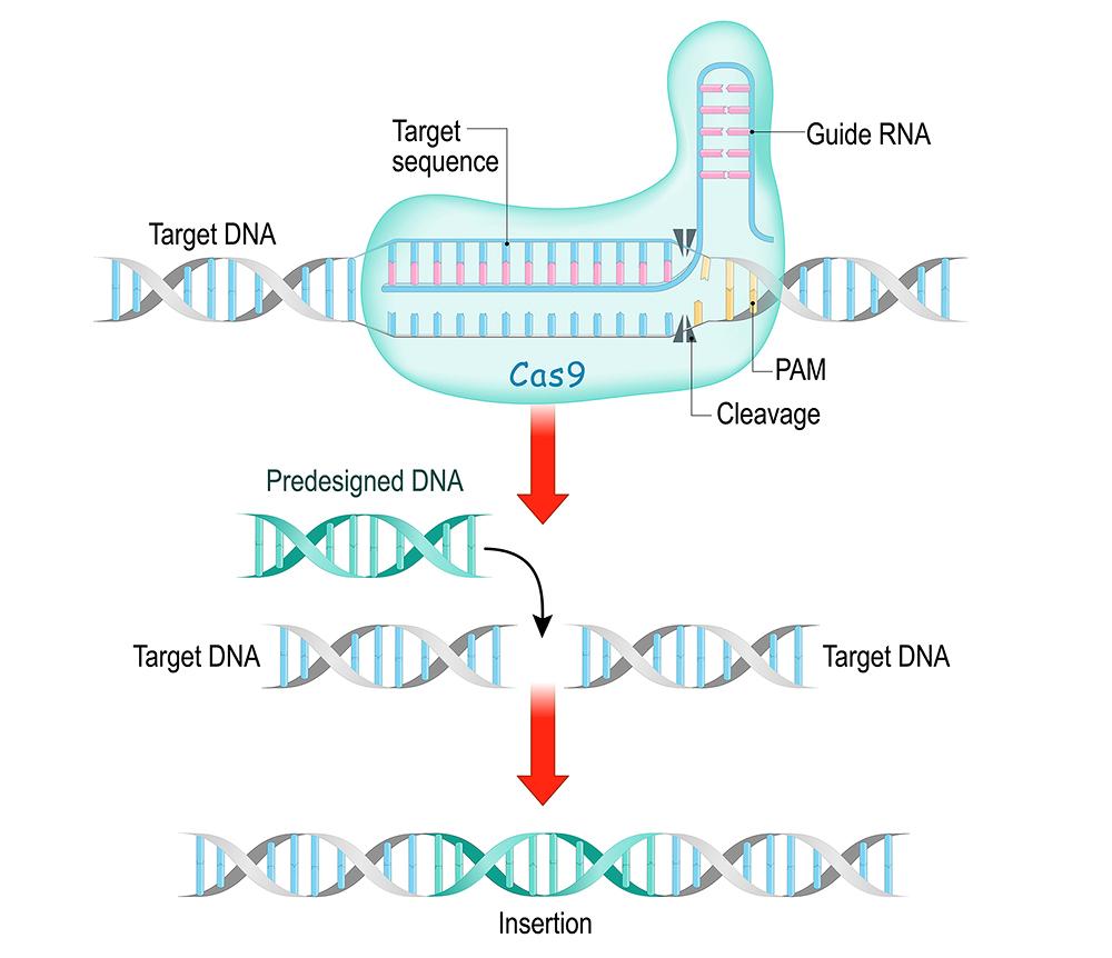 """Die Genschere CRISPR/Cas9 findet mithilfe einer Leit-RNA den auszuschneidenden Genabschnitt und das Enzym Cas9 schneidet dann direkt am angrenzenden Protospacer (PAM) beide Stränge durch. Die Reparatur und ggf. das Einfügen einer Ersatzsequenz erfolgt durch das zelleigene DNA-Reparatursystem. <span class=""""img-copyright"""">© ttsz/ Getty images</span>"""