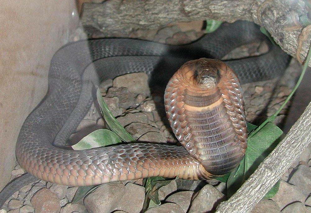 """Die Ägyptische Kobra, auch Uräusschlange genannt, galt als Gottessymbol und Beschützerin der ägyptischen Pharaonen. <span class=""""img-copyright"""">© John Walker/ gemeinfrei</span>"""