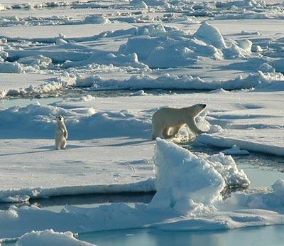 Eisbären in der Beaufort See nördlich von Point Barrow in Alaska