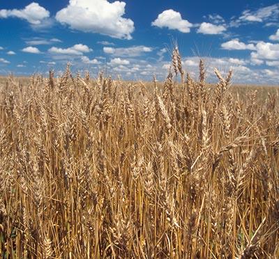 Getreide wächst zwar besser, hat aber weniger Nährstoffe
