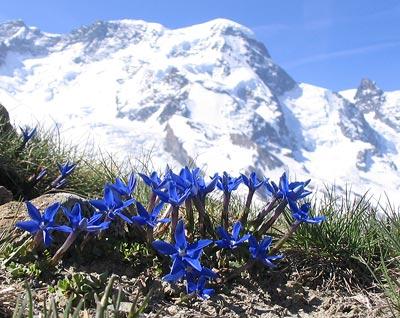 Der Enzian ist als typischer Vertreter der hochalpinen Flora vom Klimawandel bedroht.