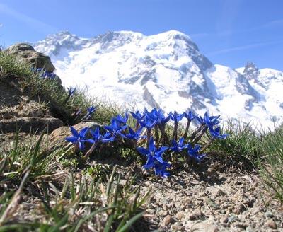 Die Pflanzen der Hochgebirge, wie hier der Enzian, sind vom Klimawandel bedroht.