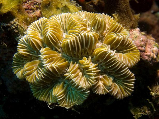 Labyrinth-Koralle
