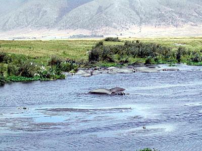 Happy Hippos - Flusspferde