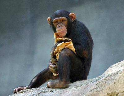 Schimpansen lernen auch durch mentale Repräsentationen