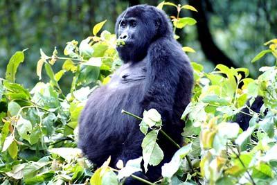 Gorillaweibchen