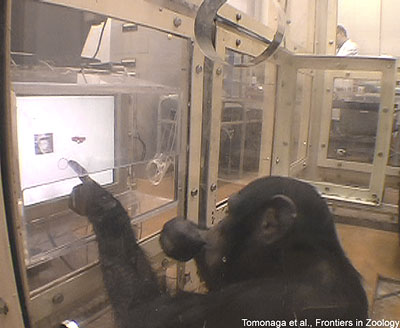 Schimpanse beim Experiment