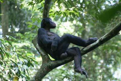 Camillo - ein Bonobo-Mann