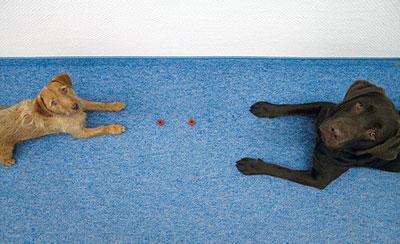 """Das Kommando """"Aus"""" gilt so lange, wie ein Mensch zuschaut. In der Studie waren die Hunde immer brav, wenn menschliche Blicke auf ihnen ruhten, und klauten die Kekskringel fast immer, wenn sie sich unbeobachtet fühlten."""