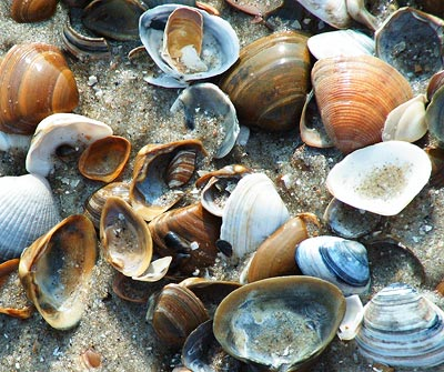 Muschelschalen - auch ein Beispiel für Musterbildung