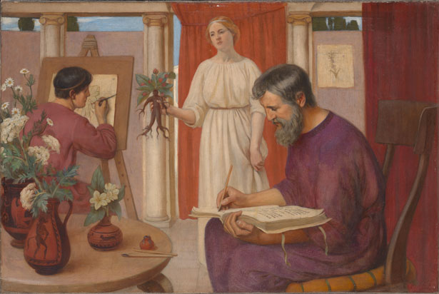 Dioskurides beschreibt die Alraune