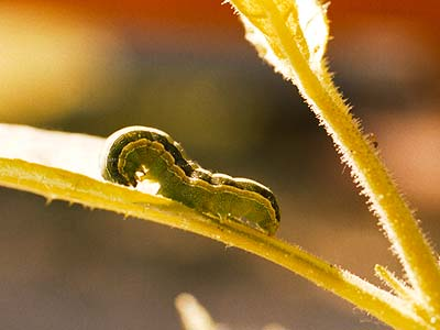 Raupe auf wildem Tabak (Nicotiana attenuata)