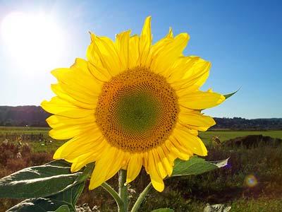"""Sonnenblumen senden """"Aktionspotenziale"""" über Strecken von 30 Zentimetern"""