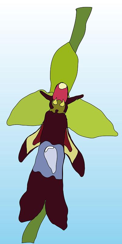 Die Blüte der Orchideenart Ophrys insectifera ahmt eine weibliche Wespe sowohl visuell als auch chemisch nach, um Wespenmännchen zur Bestäubung zu verführen
