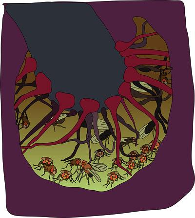 Taufliegen sind im Kelch einer Schwarzen Calla gefangen.