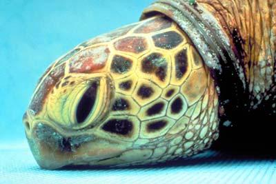 Erdrosselte Meeresschildkröte