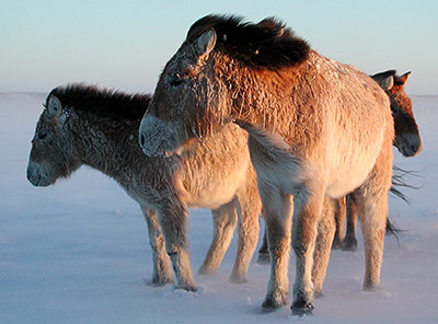 Eine Przewalski-Stute mit ihrem Fohlen im Schnee