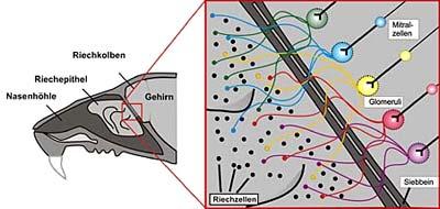 Verbindung von Nase und Gehirn