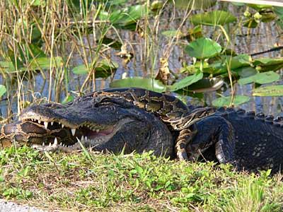 Alligator und Tigerpython im Todeskampf