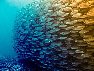 Fische: Im Schwarm geschützt