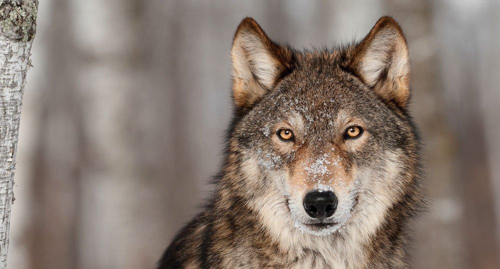 Der Wolf ist zurück - und erregt die Gemüter. © hkuchera/ istock