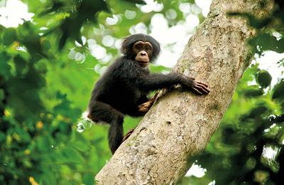 Auch in der Realität werden verwaiste Schimpansenjunge manchmal adoptiert