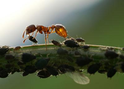 """Ameise beim """"Melken"""" von Blattläusen"""