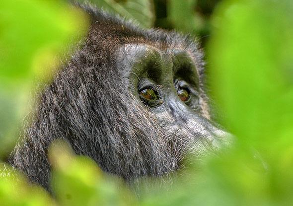 Menschenaffen wie hier ein Berggorilla, gehören eher zu den Verlieren - ihre Lebensräume schwinden.