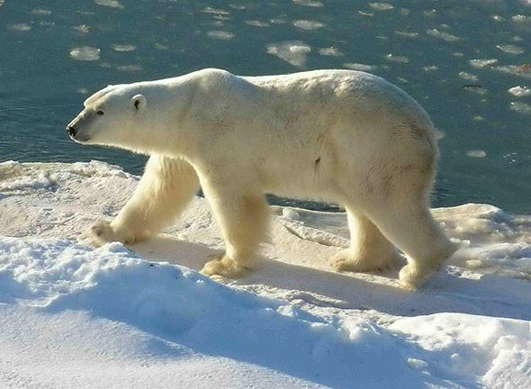 Der Klimawandel stellt den Eisbär vor gleich mehrere Probleme