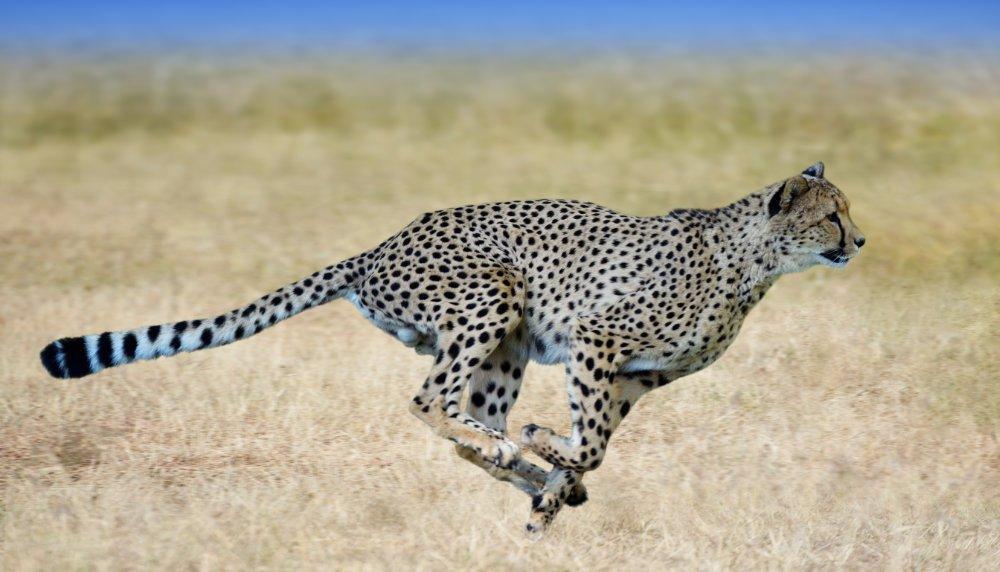 Der Gepard ist der König der Sprinter. © Freder/ istock