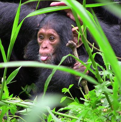 Schimpansenjunges, aufgenommen nahe einer biologischen Feldstation in Uganda