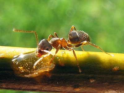 Schwarze Wegameise mit Honigtropfen