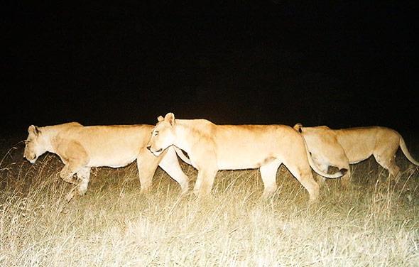 Eine Gruppe Löwinnen