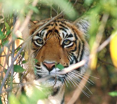 Tiger - vom Dschungelkönig zum Gejagten