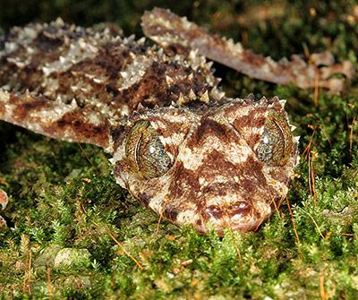 Der Blattschwanz-Gecko Saltuarius eximius wurde in Australien aufgespürt