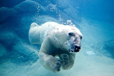 Schwimmend hat der Eisbär nur wenig Chancen auf Jagdbeute