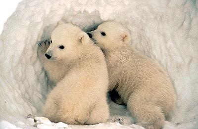 Auch Eisbärjunge sind schon gut gegen die Kälte geschützt