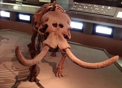 Skelett eines Zwerg-Elefanten von der Insel Malta