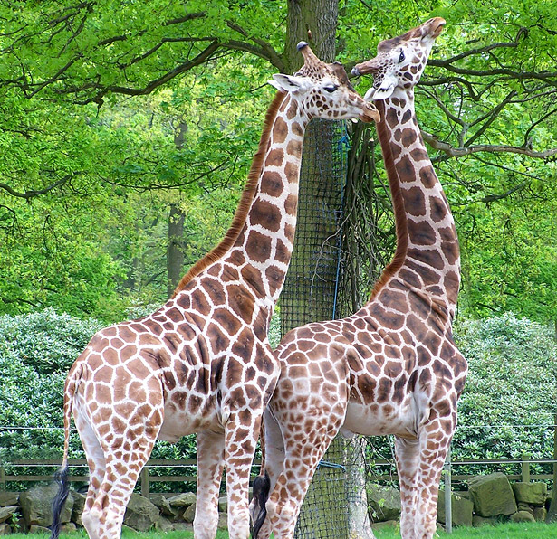 Giraffenhälse erhalten ihre Länge nicht durch ständiges Strecken.