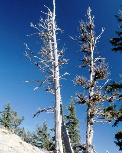 Abgestorbene Nadelbäume