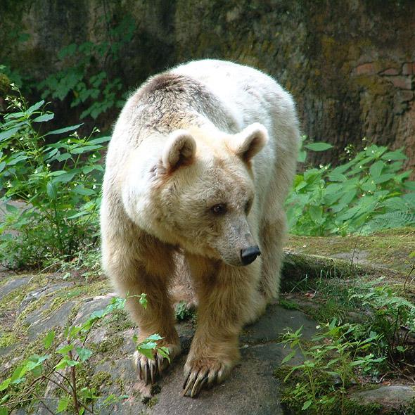 Braunbär im Tiergarten Nürnberg – freilebende Bären gibt es in Deutschland nicht mehr
