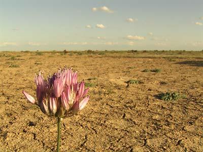 Witterungsextreme zwischen Steppe und Wüste: Wilder Knoblauch