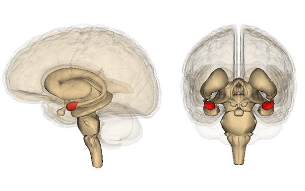 Die Amygdala ist ein Zentrum für die Gefühlsverarbeitung im Gehirn