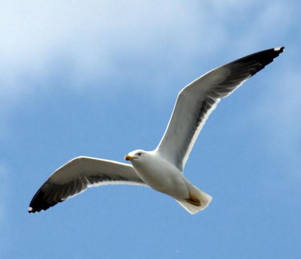 Heringsmöwe im Flug: Die Zugvögel legen bis zu 7.500 Kilometer bis zu ihrem Winterquartier am Viktoriasee zurück.