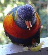 Neuseeländischer Papagei