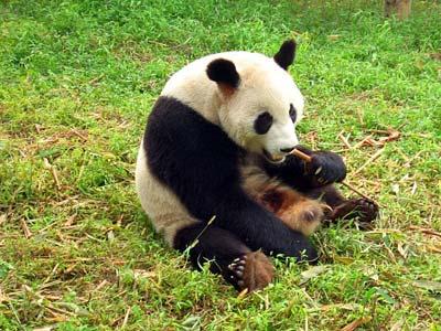 Genom Der Bambus Fressenden Grossen Pandas Entschlusselt Pandas Sind