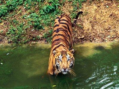 Ohne Beute Keine Tiger Scinexx Das Wissensmagazin