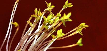 frage wie wachsen pflanzen zum licht scinexx das wissensmagazin. Black Bedroom Furniture Sets. Home Design Ideas