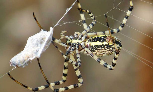 Spinnen sind enorme Vielfraße